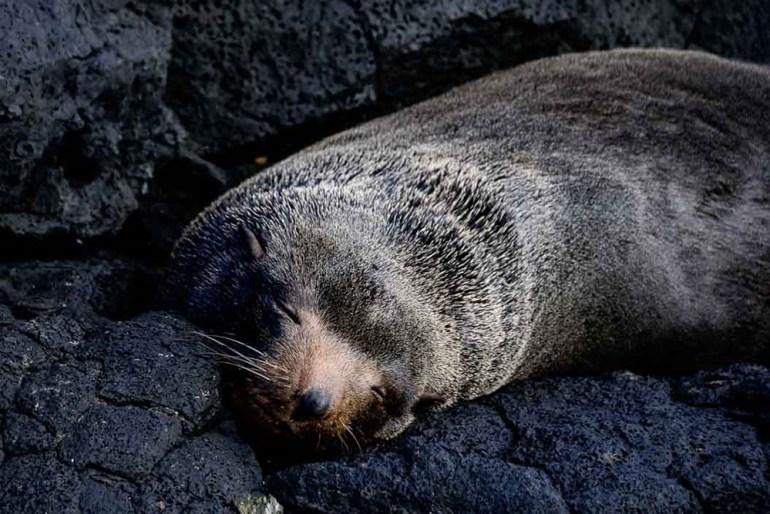 sleeping seal in the galapagos
