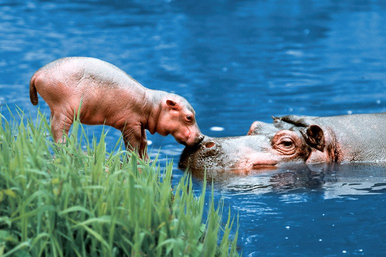 baby hippo in Africa