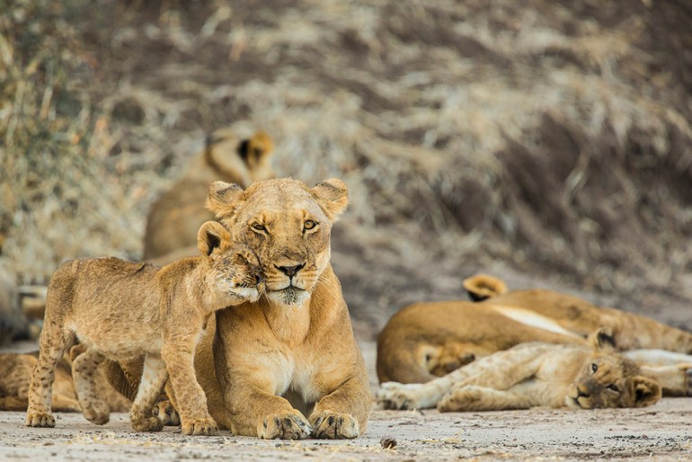 baby lion in Africa