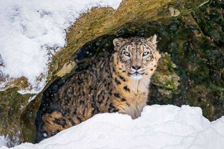 snow leopard ladakh himalaya india