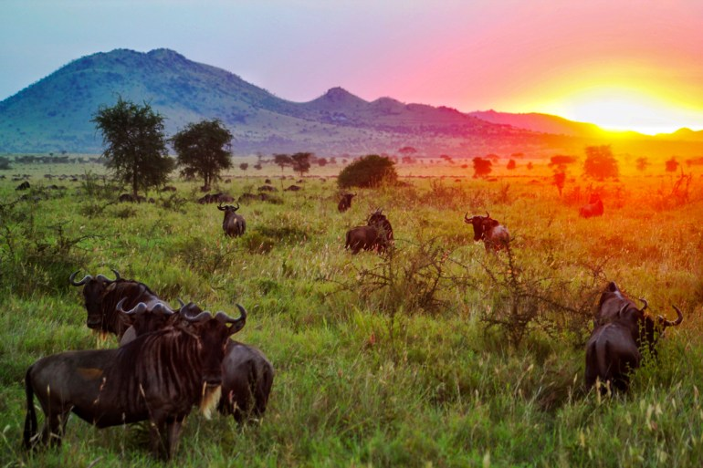 sunset with wildebeest in the foreground serengeti tanzania