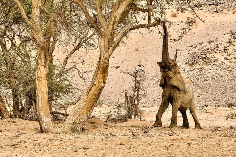 Namibia green season elephant eating from tree