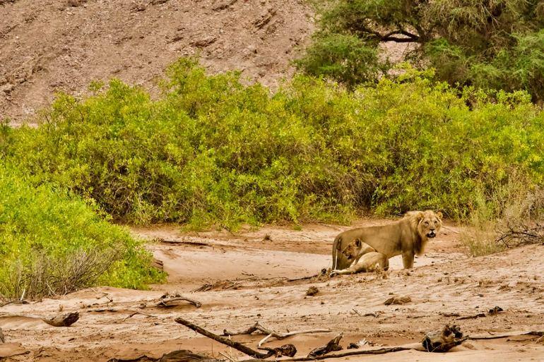 Namibia green season desert lion