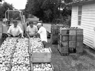 Apple Harvest Arnold Feller Farm Rt. 82 1976