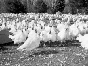 Thompsons Turkey Farm Craryville 1966 (2)