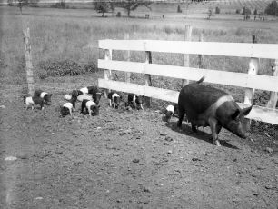 Gene-Sarazens-pigs-1950