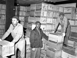 G'town Cold Storage packing apples 1954