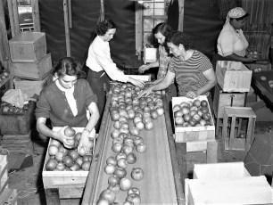 Vernon Rockefeller packing & shipping apples 1951 (2)