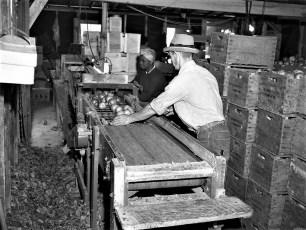 Vernon Rockefeller packing & shipping apples 1951 (3)