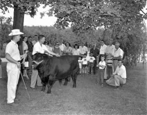Angus showing at the Minard Rockefeller Farm G'town 1956 (3)