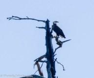 A bald eagle high on a dead tree.