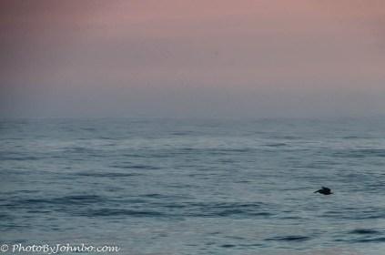A lone pelican looking for breakfast.