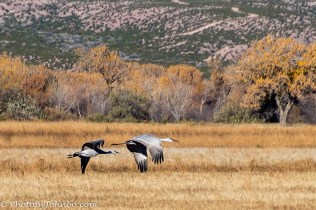 Two Sandhill cranes flying low over the Bosque.