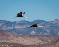 A pair of sandhill cranes with the Magdalena mountains in the background.
