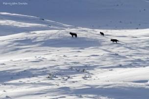 Trois loups au loin, Parc National de Yellowstone, Etats-Unis, 23 Janvier 2017
