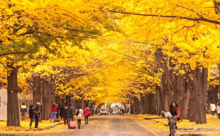 北海道大学イチョウ並木2014