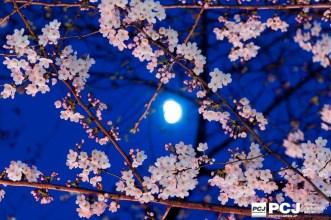 三脚を使った桜の撮影