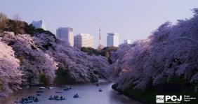 東京タワーを彩る満開の桜