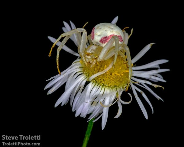 Goldenrod Crab Spider Cross Polarized Macro by Steve Troletti