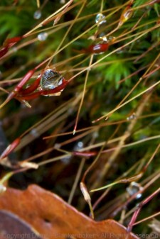 """Water droplet hanging on the tiny """"blooms"""" sticking out of moss"""