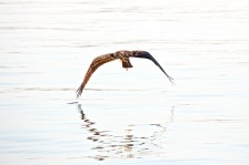 Adult Osprey dips wingtip in the river as it takes off after diving for a fish