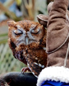 Eastern Screech Owl - Red Form