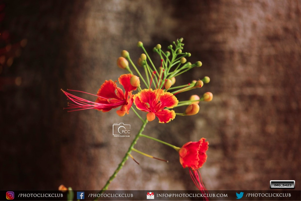 Caesalpinia Flower - on photoclickclub