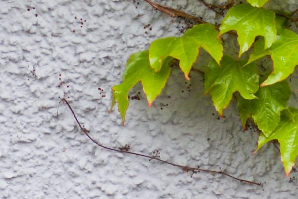 Ivy at 100 per cent