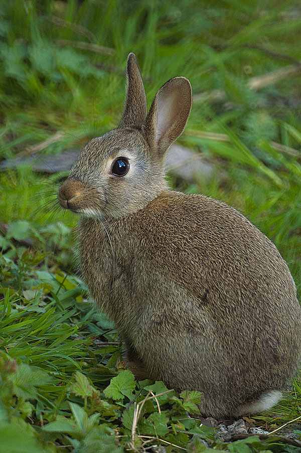 Rabbit 500mm