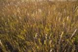 Chesterfield grass.