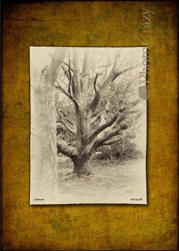 Great Naze Oak, Walton-on-the-Naze