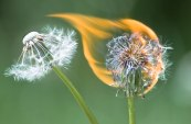 Two dandelions on fire with flame frame on green background