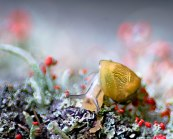Macro of snail crawling on mossy bark with red flowers