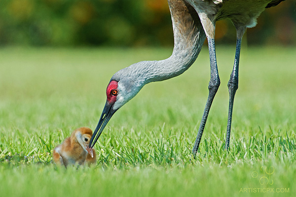 Photo by Geoff Powell: two birds on green grass