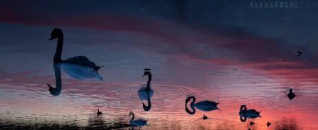 alexsaberi_swans1