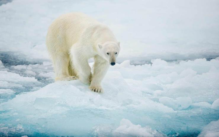 Polar Bear On Sea Ice © 2015 Clemens Vanderwerf