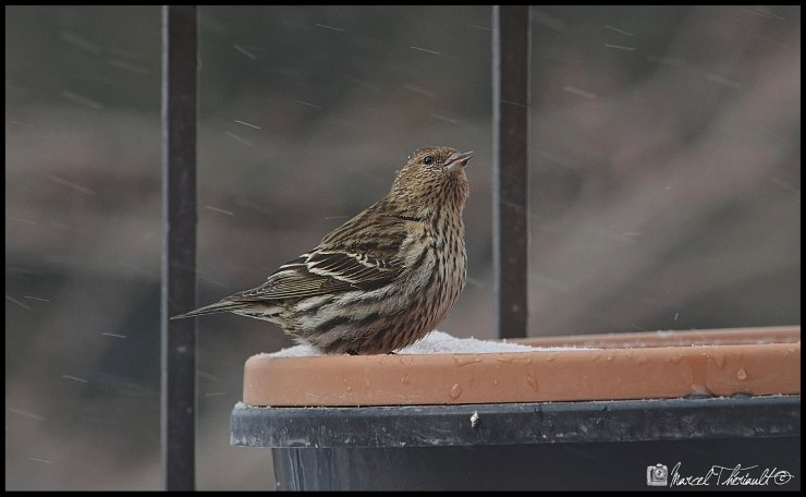 Pine Siskin on My Balcony by Marcel Theriault