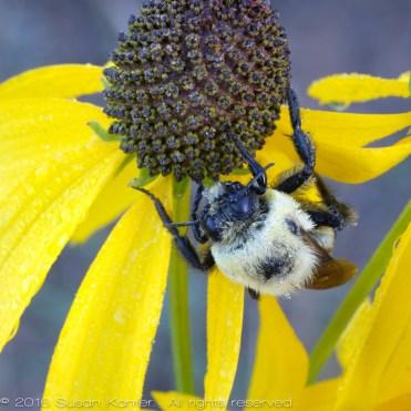 Digger Bee