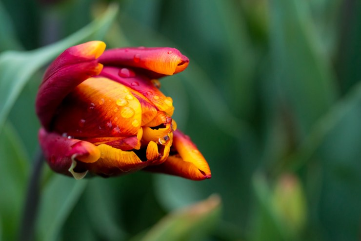 macro tulip photography