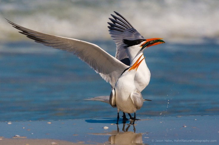 © Jason Hahn, HahnNaturePhotography.com. A pair of Royal Terns, the male is offering the female a fish as part of their courtship ritual. In wildlife photography, eye contact is key. Getting down to your subject's level makes your images more intimate and helps create a deeper connection between your image's viewer and the animal. But as a photographer to get that eye contact usually means kneeling or lying down on the ground, be prepared to get dirty and have your brush ready to get rid of the worst!