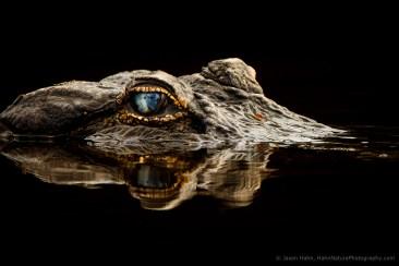 jhahn-alligator-myakka-_G0C3691