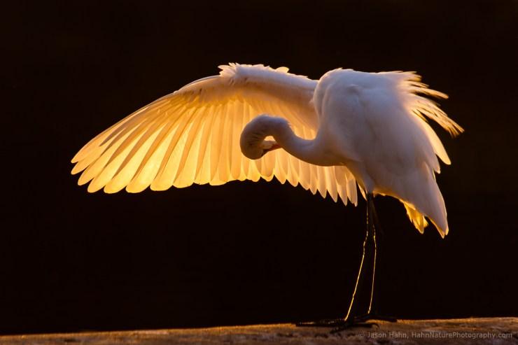 Golden Wing, Egret Preening at Sunset