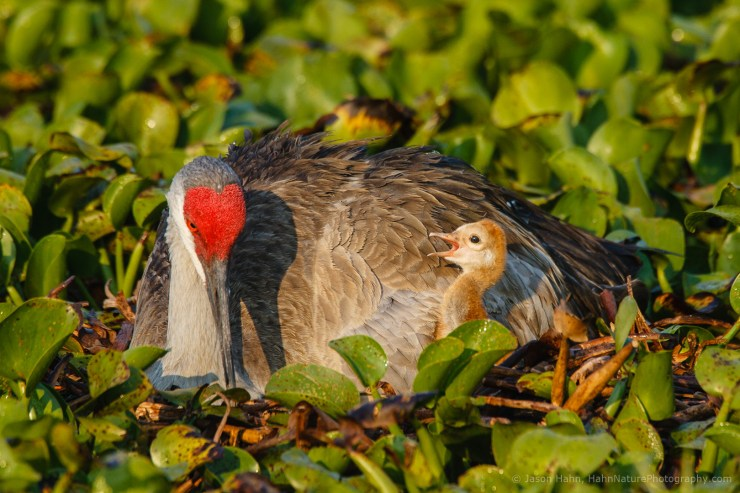 Sandhill Crane and Chick at Nest