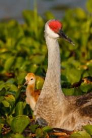 Adult Sandhill Crane and Sandhill Crane Chick