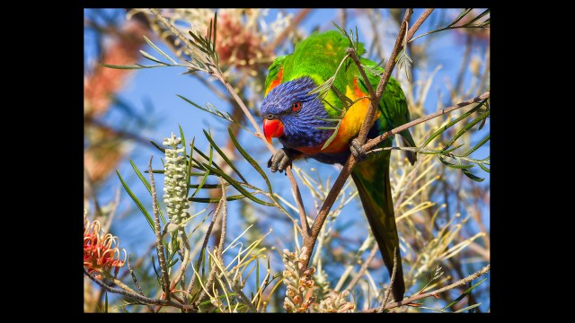 Photofocus Photographer of the Day Murray Fox with Rainbow Lorikeet