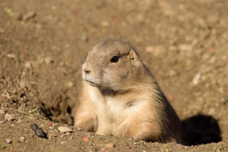 Prairie Dog shot with a long lens