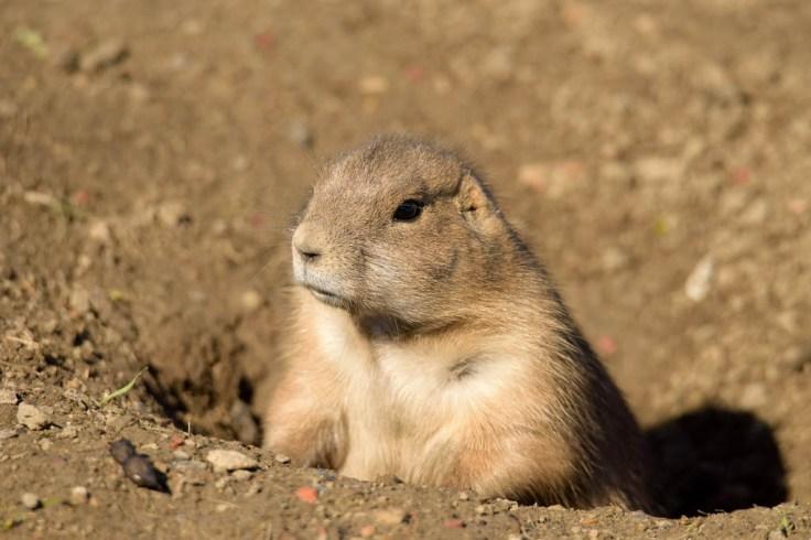 Prairie Dog shot with a long lens