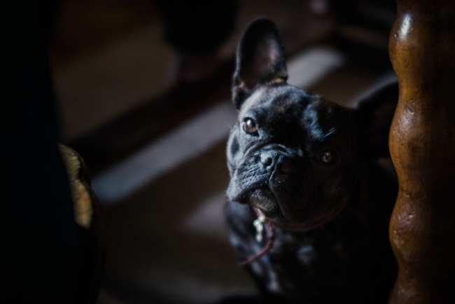dog, black dog, pug