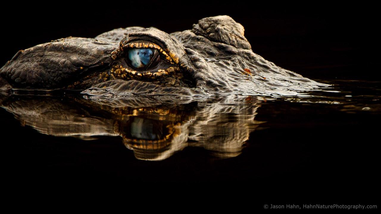 An alligator raises his head at the Myakka River State Park.