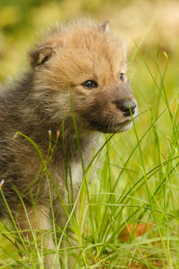 Wolf Pup in diffused sun light